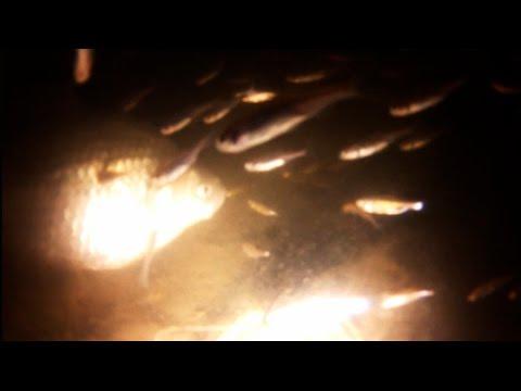 Рыбы мутанты в Москве реке, подводное видео рыб мутантов. - YouTube