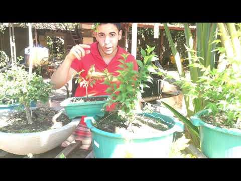 🍁-resultados-do-bonsai-de-sakura-japonesa-apÓs-1-ano-em-goiÁs🍁万