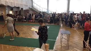 Выставка собак в Рыбинске 13 октября 2018. Запись видеотрансляции с рингов. часть 2