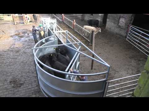 Cattle Handling Done Right!