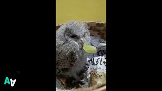 Rescued Baby Owl Hates the Taste of Grapes