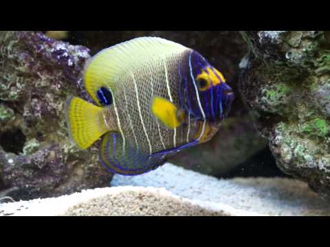 Blue Face Angelfish