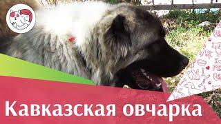 Кавказская овчарка на ilikepet. Особенности породы, уход