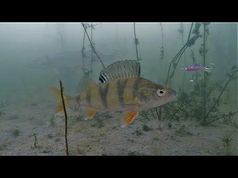 Ice fishing perch underwater camera 24 3 2018