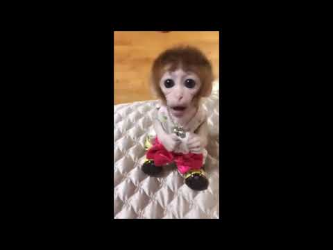 Pet baby monkeys