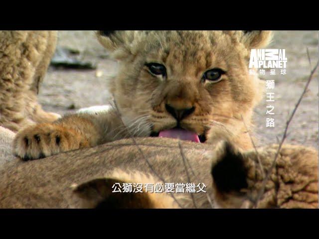 《獅王之路》獅王之路公獅佔領地盤後會殺害原有的幼獅