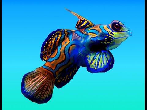 Рыба Мандаринка