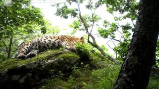 ID1556/ФГБУ Земля леопарда/Кошачьи/Хозяин заповедника Кедровая падь (4)