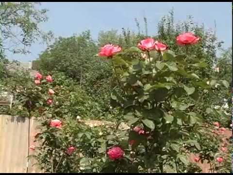 Как выращивать штамбовые розы в домашних условиях. Советы из частного питомника роз Рязанова