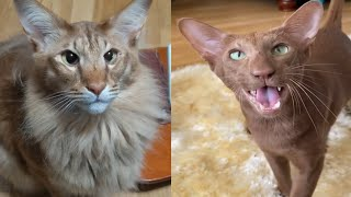 ORIENTAL CATS 2021