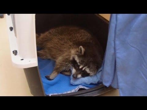 Animalia: Un mapache que tiene que ir al dentista