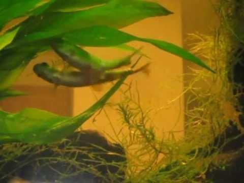 Minnow Fish Laying Eggs