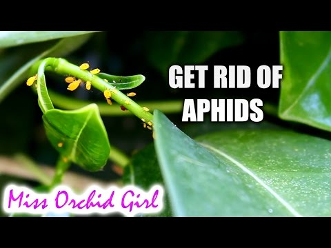Home made insecticide for aphids that works!