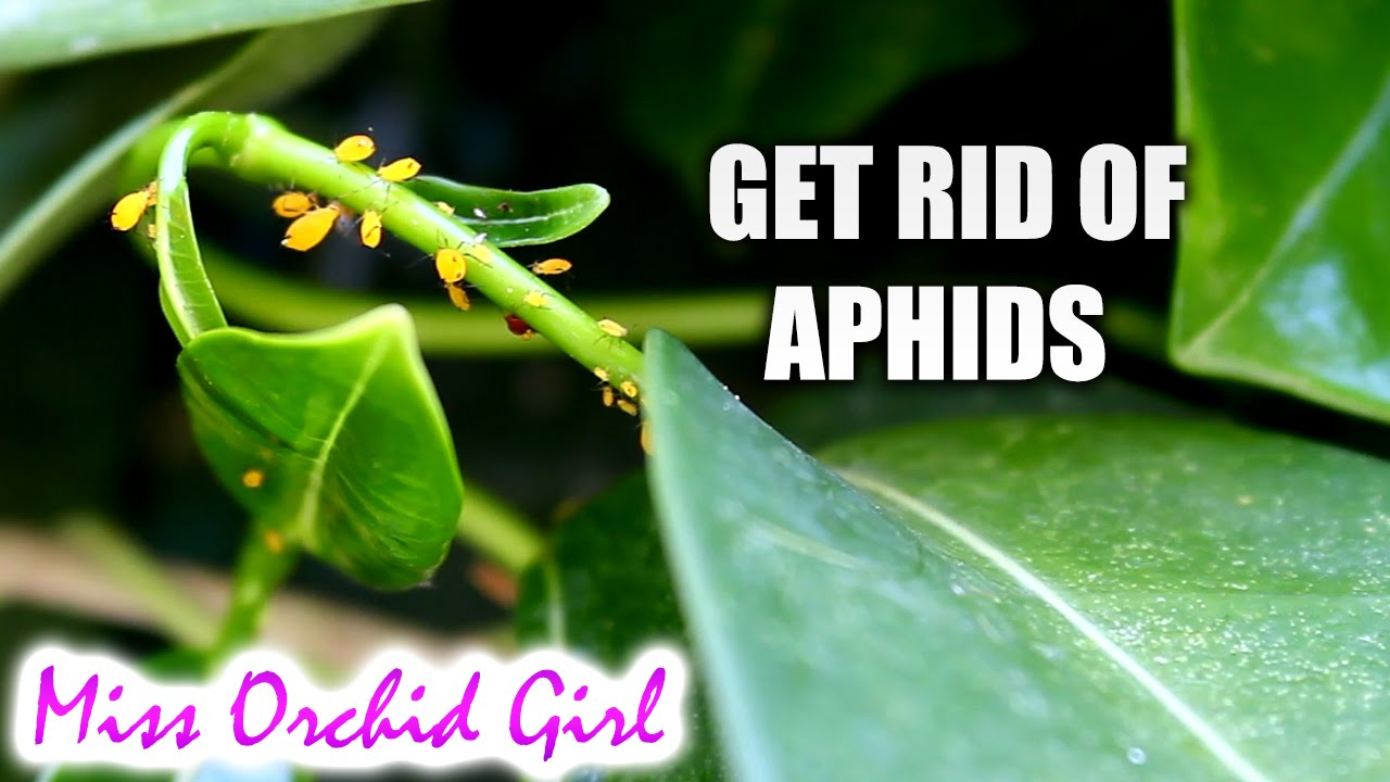 Fighting aphids folk remedies. 16 folk remedies against aphids in the garden 88