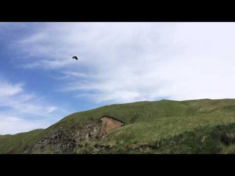 Eagle in Adak AK grabs fish and drops it then eyeballs MY fish!
