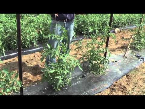 How to Grow Tomatoes: Trellis