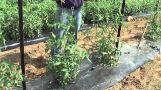 How To Grow Tomatoes: Trellis