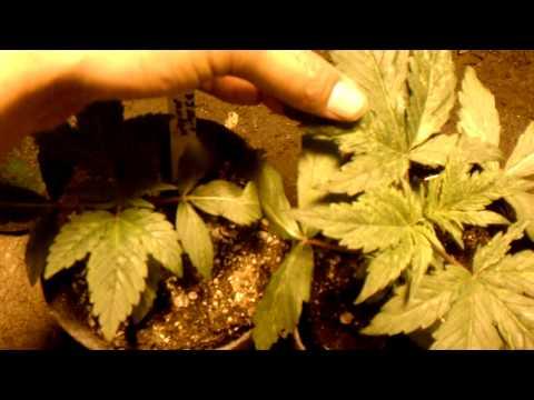 Organic Grower Vs Chem Grower: Buck Wild Babies