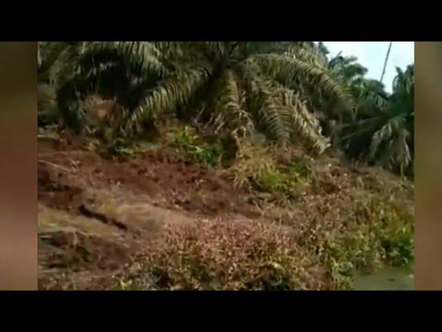 Seekor Harimau Terkam Warga Hingga Tewas di Riau