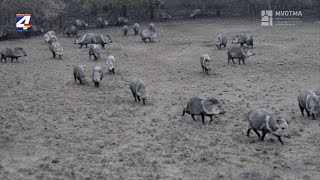 Cazaban animales de especie en extinción que habían sido liberados por Dimana la semana anterior