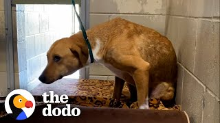 Anxious Shelter Dog Was Even Scared Of Collars And Leashes | The Dodo Foster Diaries