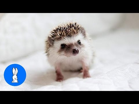 Cute Little Hedgehogs Compilation / TRY NOT TO AWW!