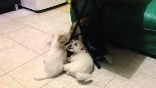 Maltese X Lhasa Apso Puppies