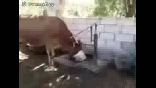 Прикол про коров #1