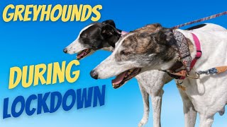 Greyhounds during lockdown