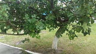 видео Тля на яблоне: как бороться?