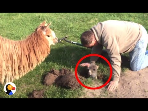 Thumbnail: Baby Alpaca Stuck in Hole Can't Wait To Be With Mom Again | The Dodo