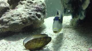 Huma Huma Triggerfish Eating a clam 2