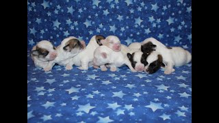 Coton Puppies For Sale - Kaley 7/19/20