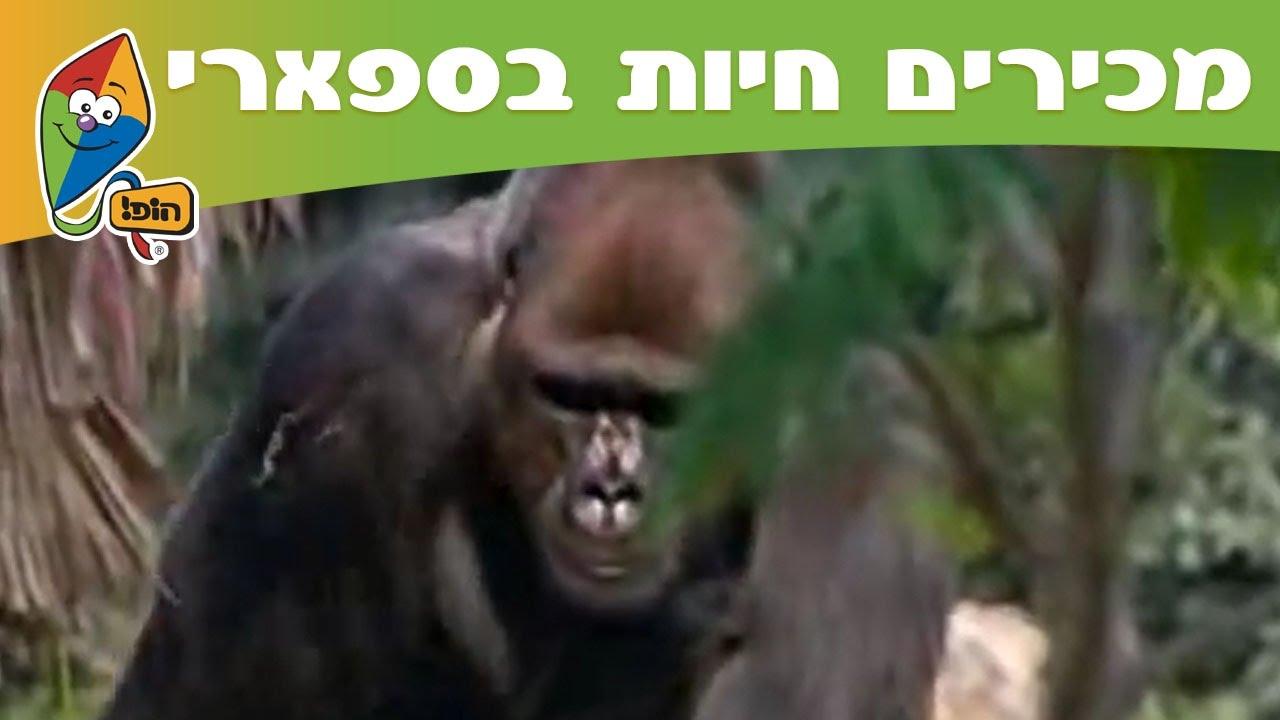 מכירים חיות בספארי: גורילות - מסלול הופ! בספארי
