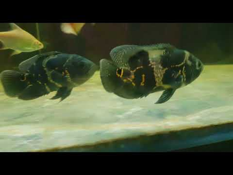 New tiger Oscar fish intro in my 8 feet tank