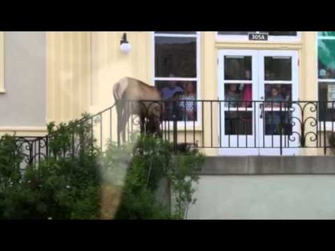 """Yellowstone elk discovers dining room, """"don't taze me bro"""""""