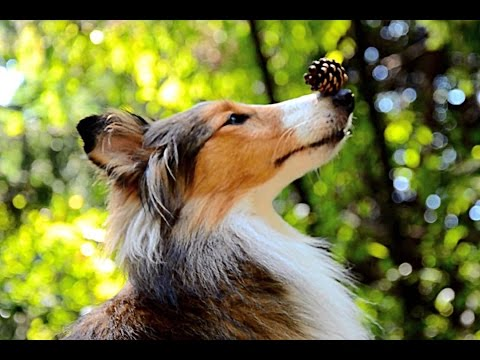 Stella sheltie tricks summer 2012