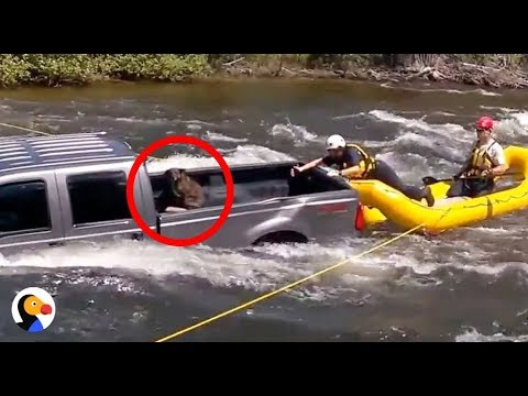 Dog Trapped On Truck In The Middle Of A River RESCUED | The Dodo