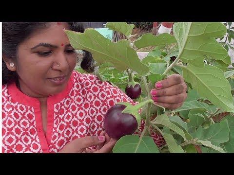 FARM FRESH STUFFED  BRINJAL RECIPE | STUFFED BRINJAL | BADANEKAYI  ENGAYI | HEALTHY VILLAGE FOOD