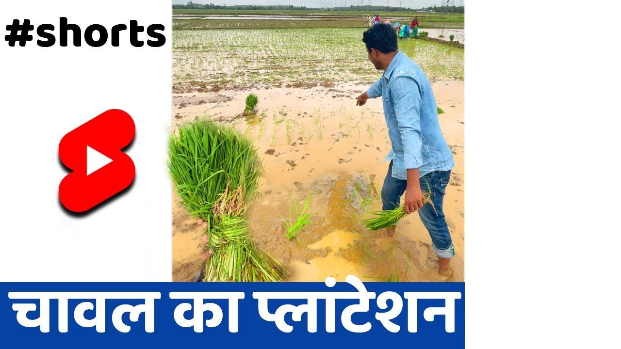 कर्नाटक चावल खेती🌱 #SHORTS #PADDY #INDIANFARMER #KISAN