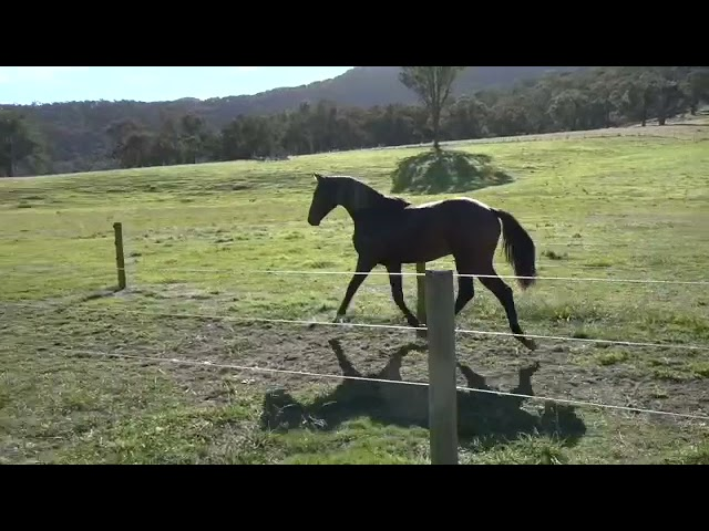 Tulara Checkadello 1   Checkter/Cascadello 1/Stakkato filly.