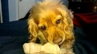 Coker Spaniel Play Fight