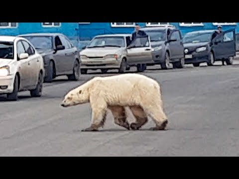 Hungry polar bear found wandering in Russian industrial city