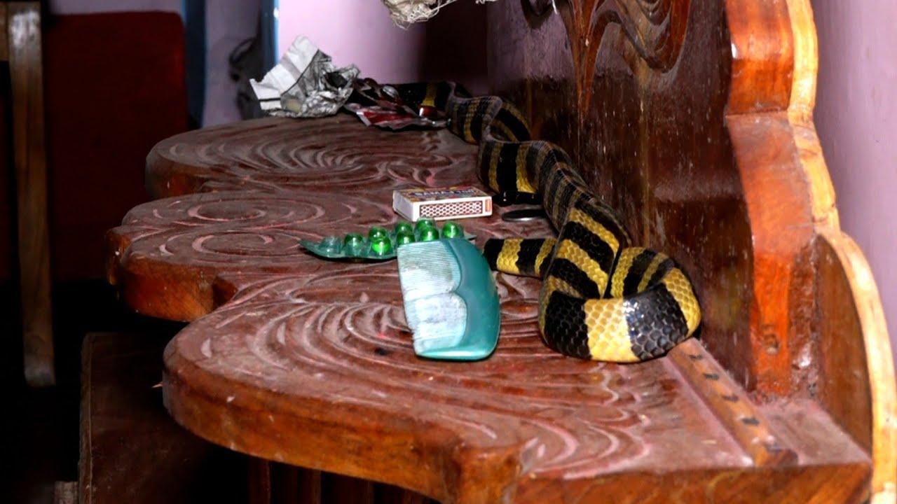 सजावट की वस्तु नहीं भारत के बिशैल सापों में से है,पूंछ में होते है काटे:अहिराज।Silent killer Krait