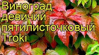 Виноград девичий пятилисточковый Troki. Краткий обзор, описание характеристик, где купить саженцы