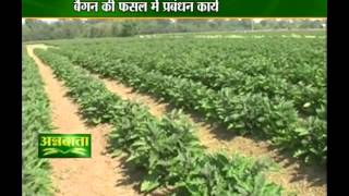 All you want to know about brinjal crop management