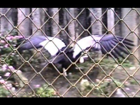 Condor andino, Vultur gryphus, Zoológico de São Paulo, Zoo,
