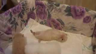 Scottish fold kittens two weeks old (Котята шотландские, 2 недели)