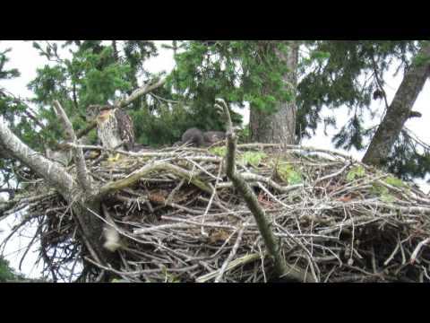 Roberts Bay, Sidney BC Eagles ~ 14 June 2017