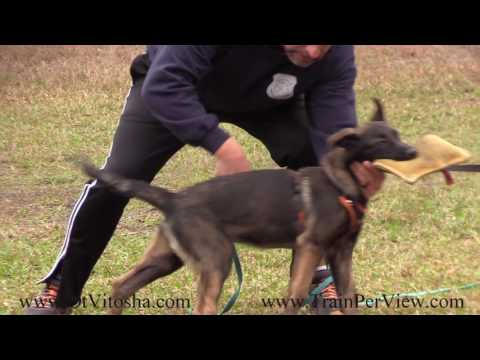 Malinois puppy Possession Game lesson